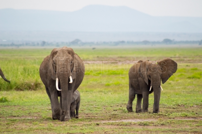 Elephant family in the savannah countryside of Amboseliau