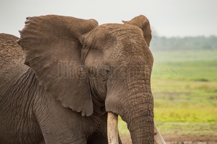 Elephant with ears forward in the savannah of Amboseli Park in K
