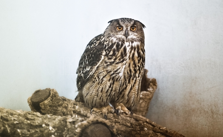 Eurasian Eagle Owl female
