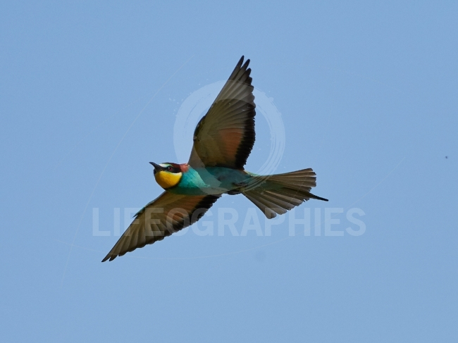 European bee eater (Merops Apiaster) in natural habitat
