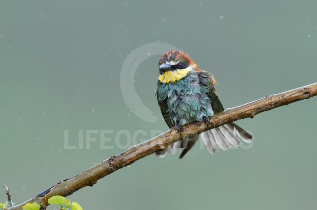 European bee eater (Merops Apiaster) in natural habitat on rainy