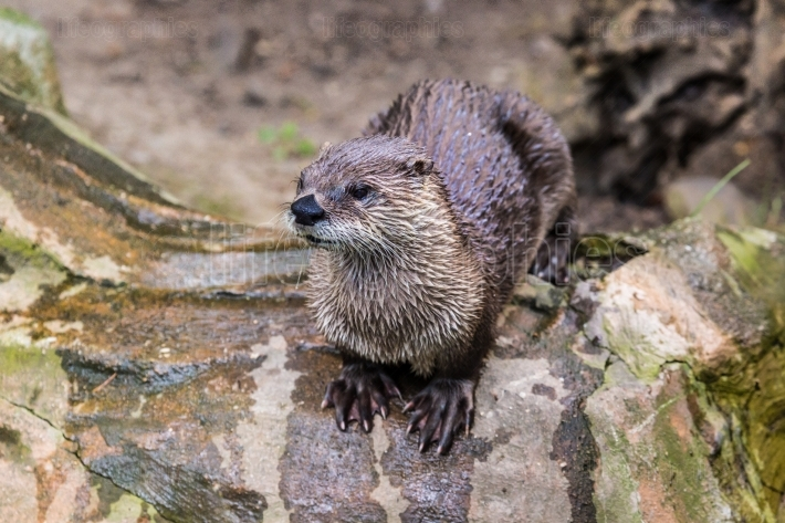 European Otter in nature.