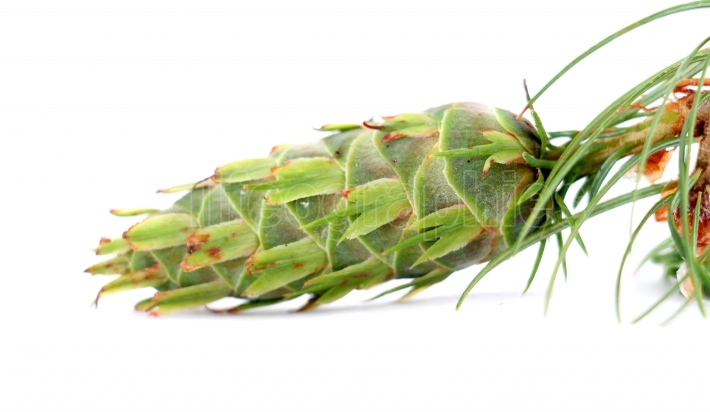 Evergreen tree cone with branch