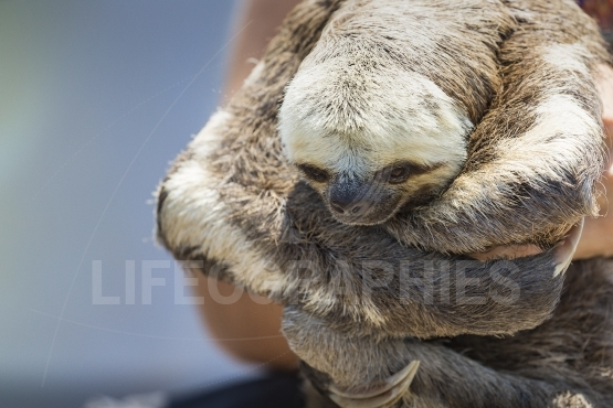 Exotic pet, a pale throated sloth (bradypus tridactylus)