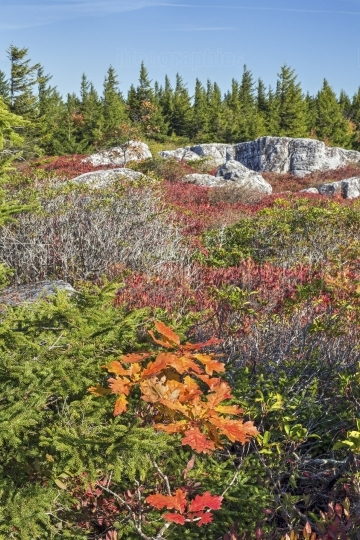 Fall color in the dolly sods