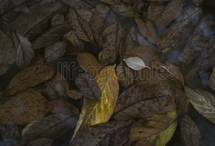 Fallen leaves lie on the water pond