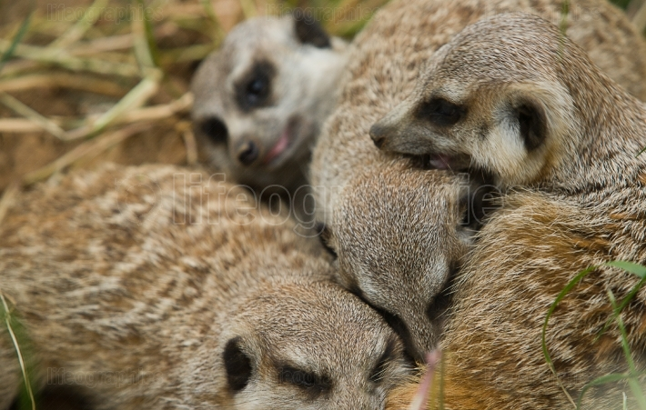 Family Meerkats playing