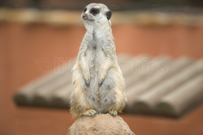 Female mother meerkat