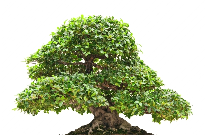 Ficus bonsai isolated