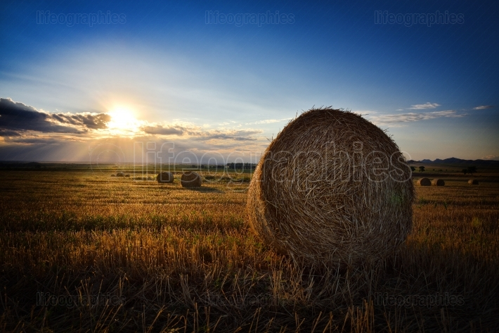 Field of hay bales at sunset