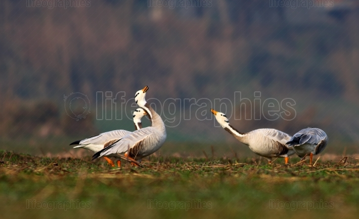 Fight of bar headed goose