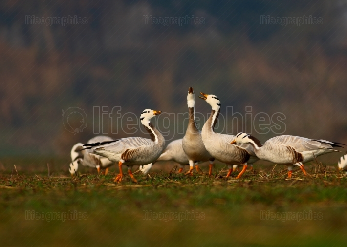 Fight of Goose at sunrise in grassland