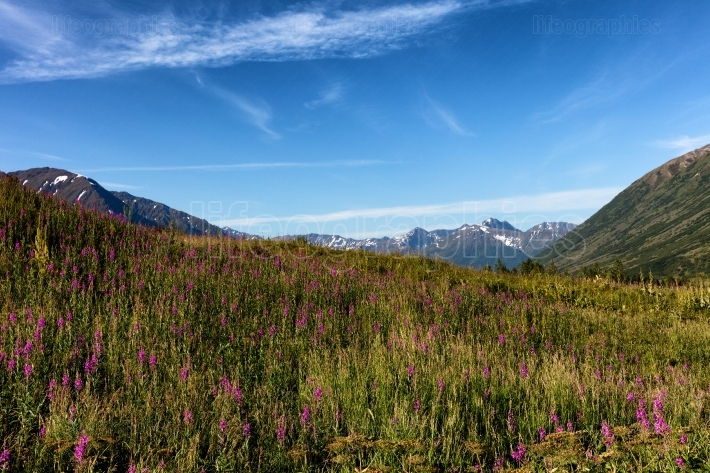 Fire weeds with mountains in background