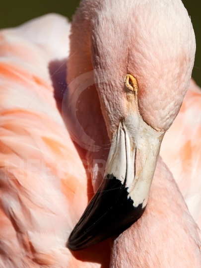Flamingo bird portrait
