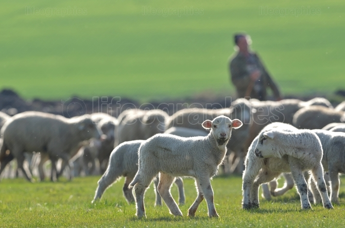 Flock of sheep and lambs on field