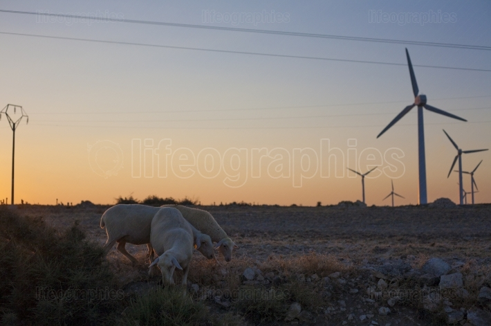 Flock of sheep grazing at electric wind turbines farm
