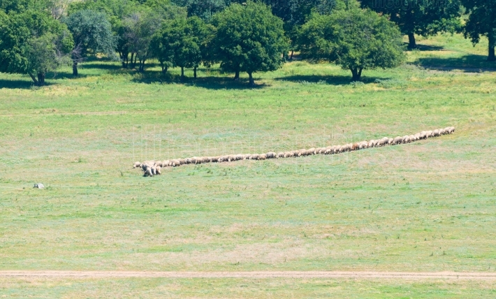 Flock of sheep walking in a row