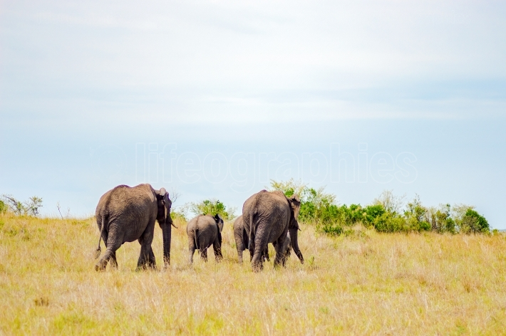 Four elephants moving away in the savannah of Masai Mara Park in