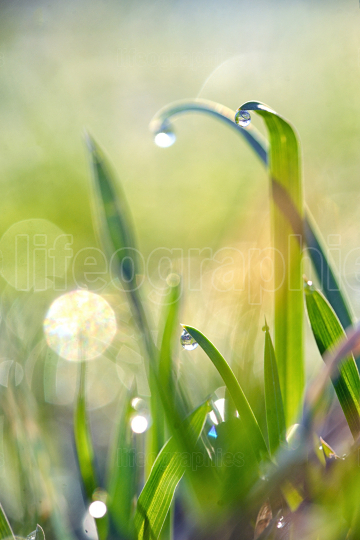 Fresh grass on field with dew drops
