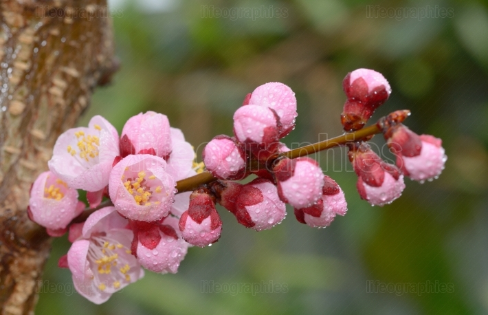 Fresh, pink, soft spring cherry tree blossoms