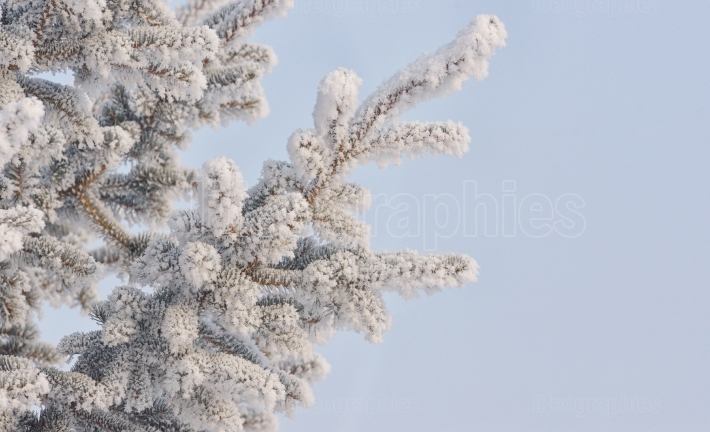Frozen needles of pine tree