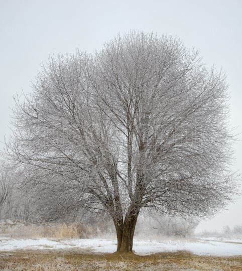 Frozen tree in winter field
