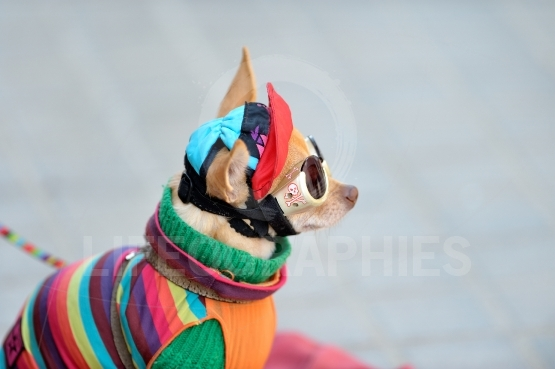 Funny chihuahua wearing tiny clothes
