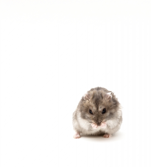 Funny hamster on white isolated background