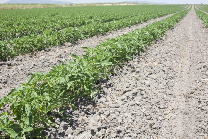 Furrows of young tomatoes plants