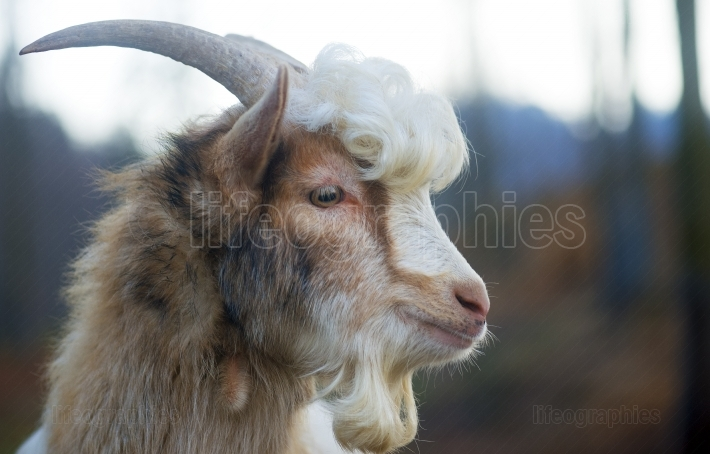Furry farmyard goat with curly hair at zoo