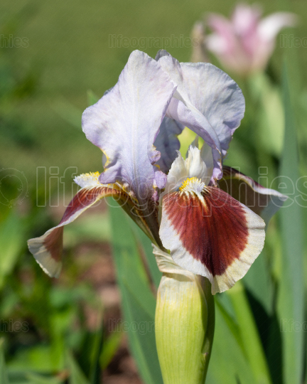 German iris, Iris barbata nana