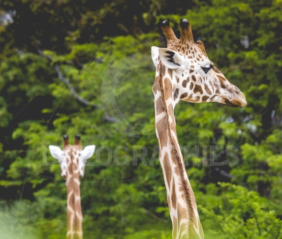 Giraffe head with neck over green background