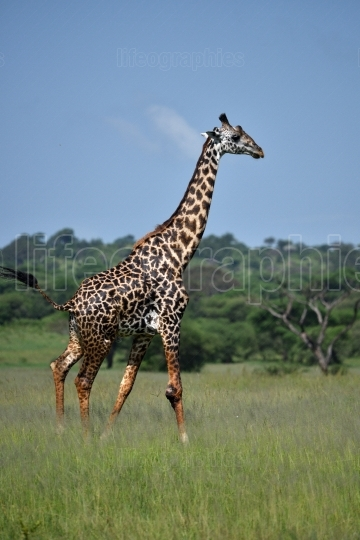 Giraffe in natural habitat in African natural park