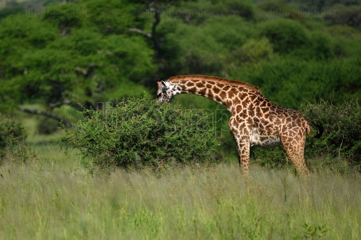 Giraffe in natural habitat in african park