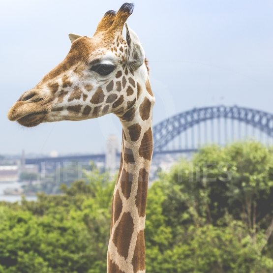 Giraffes at Zoo with a view of the skyline of Sydney in the back