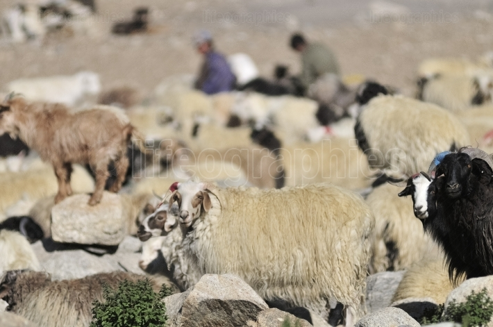 Goats of nomads at Korzok village near Tsomoriri Lake