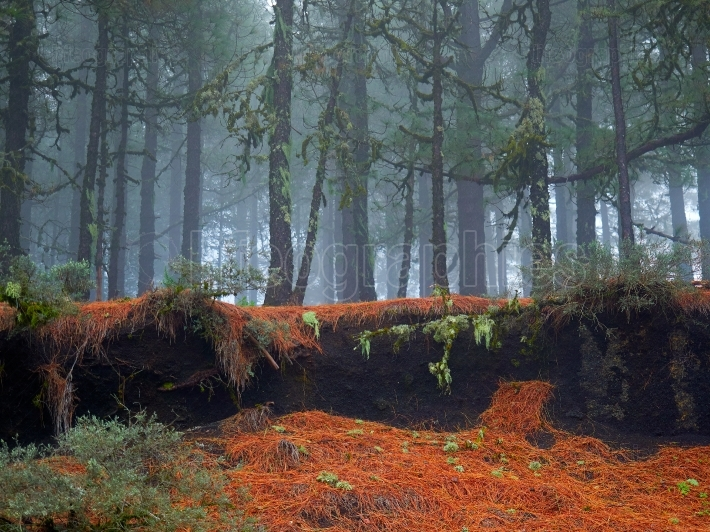 Gran canaria canary islands pine tree forest on foggy morning