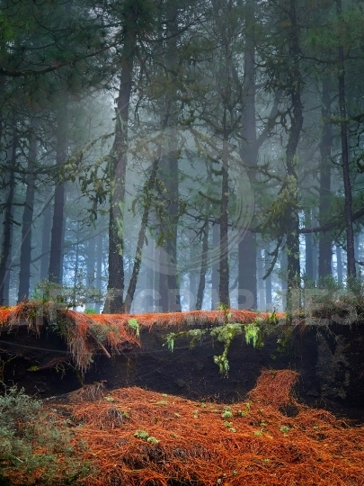 Gran Canaria Canary Islands pine tree forest on foggy morning, S