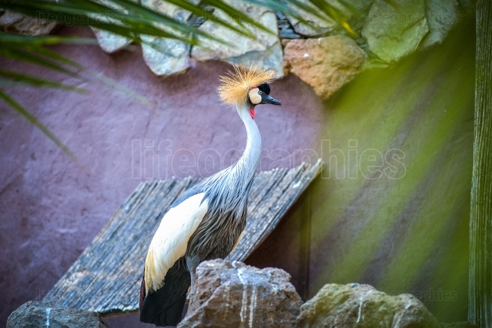 Gray crowned crane in animals park in Gran Canaria, Spain