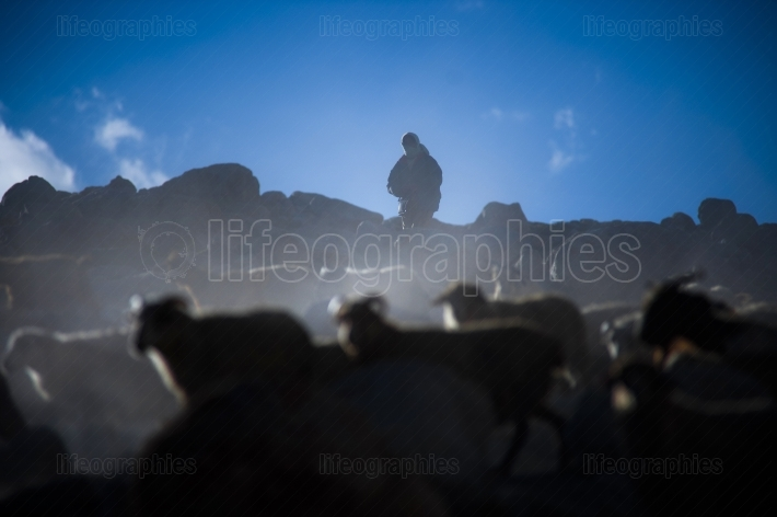 Grazing sheep returning from the surrounding high mountains of the karakoram