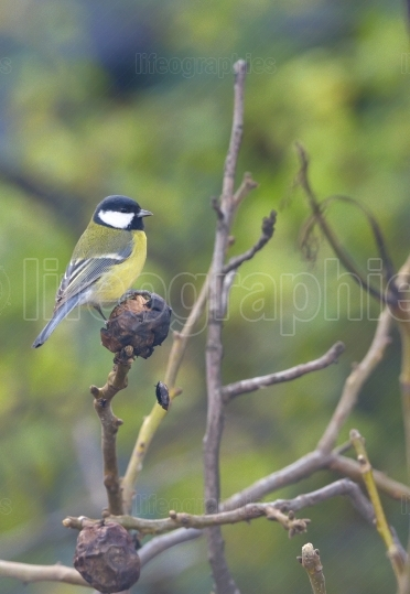 Great tit on a tree branch