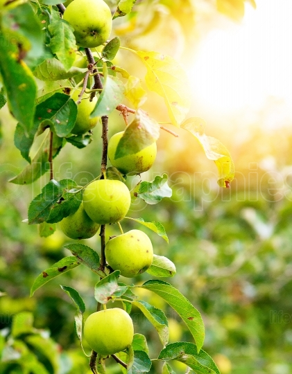 Green apples on a branch ready to be harvested, outdoors, select
