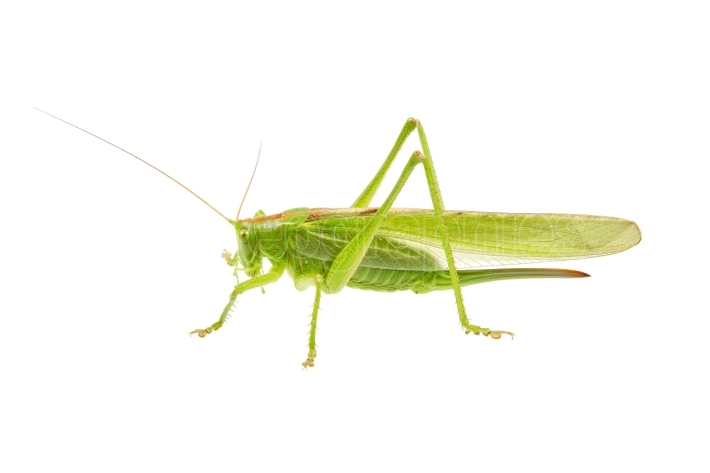 Green grasshopper isolated on a white