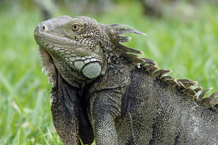Green Iguana, Aruba, ABC Islands