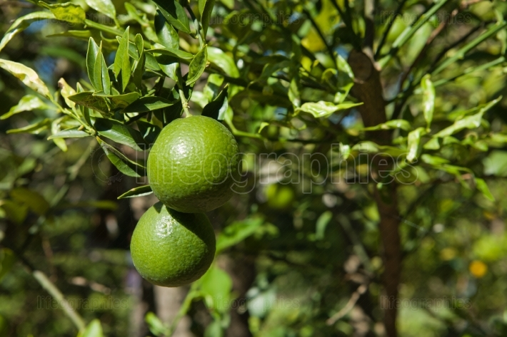 Green oranges on tree