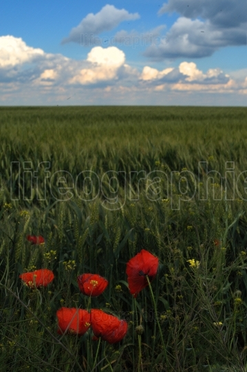 Green wheat and poppy flowers