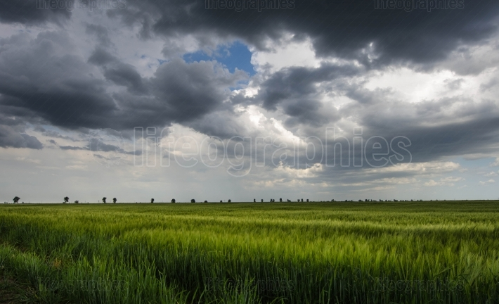 Green wheat field and storm clouds