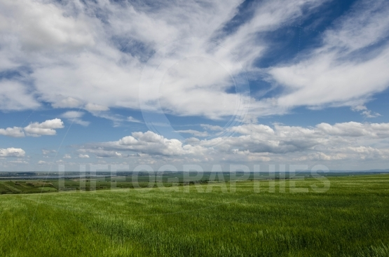 Green wheat field and white clouds