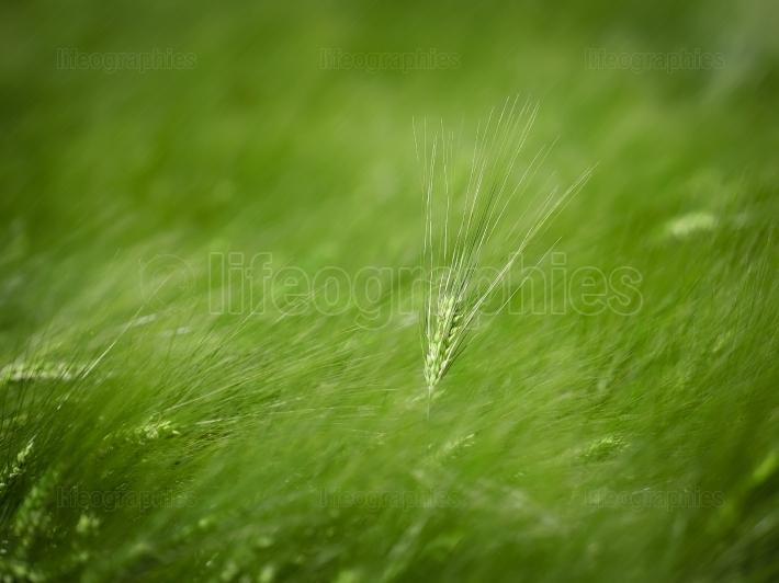 Green wheat field closeup