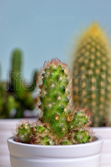 Group of cactus in a pot